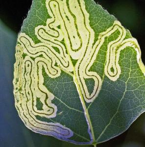 mined leaf